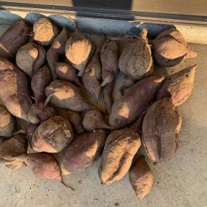 2020サツマイモの収穫