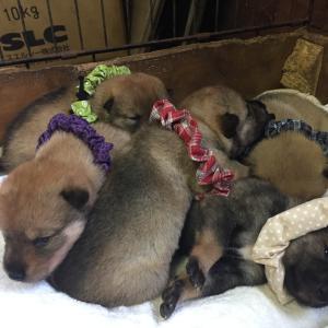 四国犬、千代の仔犬は生後17日。