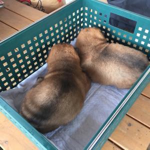 てまりの仔犬は生後20日。