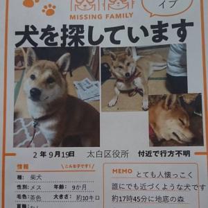 柴犬のイブちゃんを捜しています。