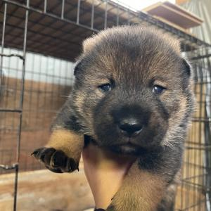 てまりの仔犬は生後16日。