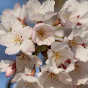 花は桜 君は美し メダカは…