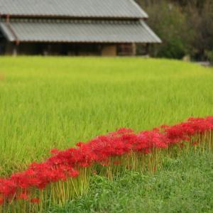 明日香村の棚田と彼岸花