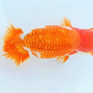 第25回 尾張優魚会品評会 二歳魚の部 役魚入賞魚