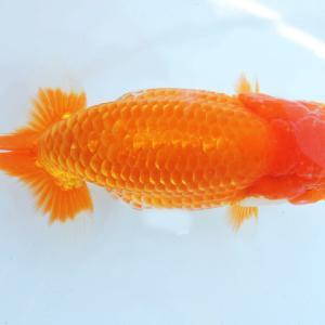 第25回 尾張優魚会品評会 当歳魚大の部 役魚入賞魚