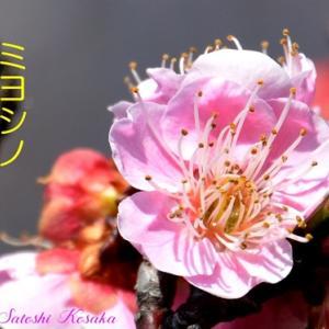 お花見!春を呼ぶ梅の花の総まとめ! カラーアトラス
