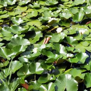 佐倉城址公園へ菖蒲と紫陽花を見に散歩