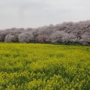 「この花は梅なの?桃なの?桜なの?」違いは?簡単に見分ける方法を教えます!