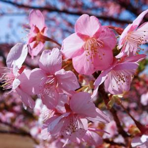 【2021年は中止】濃いピンクの河津桜祭♪ グルメと温泉も満喫
