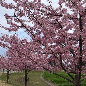 河津桜が満開の無料の広大な公園・馬見丘陵公園に出かけてみませんか?