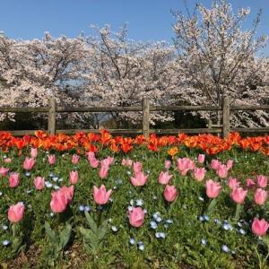 桜とチューリップのコラボ!馬見丘陵公園