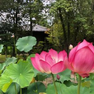 蓮の花開く鑑真和上のお寺 世界遺産・唐招提寺