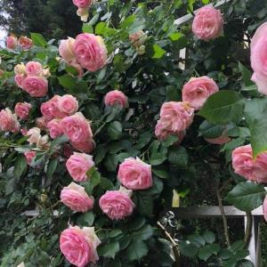 霊山寺のバラと周辺グルメ~花も団子も(笑)
