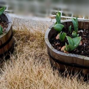 チューリップが育ってきました&水耕栽培も芽が出ました✨経過その①(3/11~3/27まで)