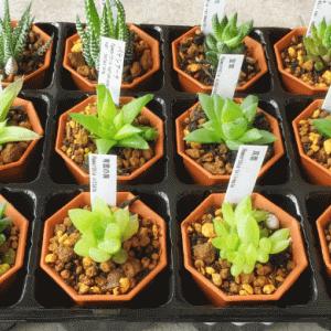 【多肉植物】通販で購入したハオルチア属12種類を紹介