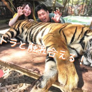 【タイガーキングダム】でトラと触れ合える!?プーケットでトラと写真が撮れる非日常体験