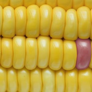 【海外生活:ブラジル編】遺伝子組み換え食品に表示されるT字のマーク
