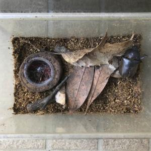 19年9月19日 | 幅広ケースの片づけ。カブトムシの幼虫4匹発見!うち1匹は真っ白!!
