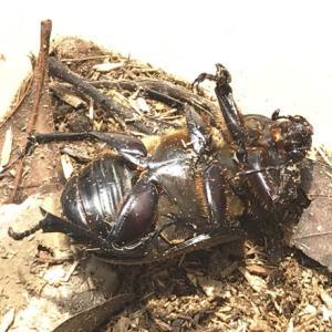 19年9月23日 | カブトムシの♀1匹死亡。これで家で羽化したカブトムシは全滅!