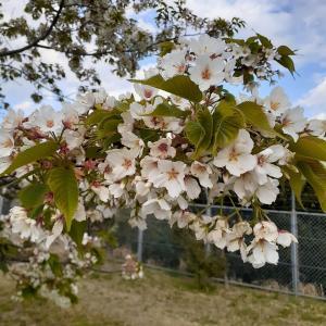 利根川河川敷の桜~満開です