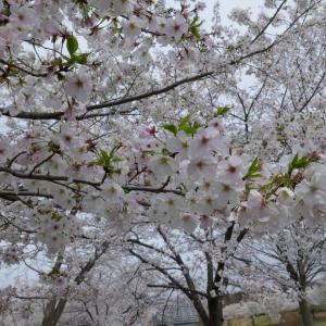 福岡堰の桜2020