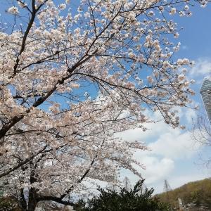 春爛漫の東山動植物園に花見に行ってきたよ~(名古屋市)