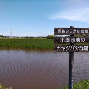 今が見頃 国指定天然記念物 小堤西池のカキツバタ群落(刈谷市)