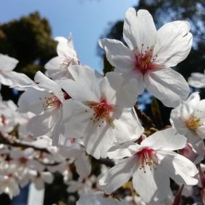 一宮駅と桜の美しい真清田神社を半日散歩
