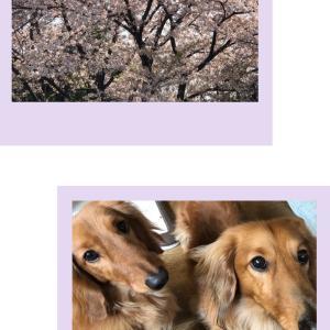 桜みると落ち着きますね
