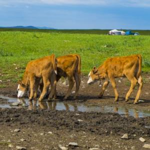 【恐怖】内臓と血を抜かれて生殖器まで切り取られた牛の死体が発見される