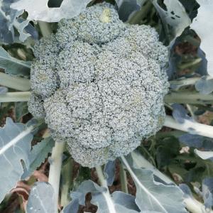 #ブロッコリー が 収穫 だぁあ #畑 #blog