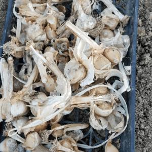今年もやるよ #ジャンボニンニク !! 植える #野菜先輩
