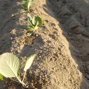 キャベツの苗に防風対策をつけた話 ( ゚∀゚ )/ #野菜先輩 #畑ブログ
