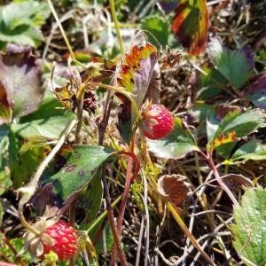 野良イチゴを植える?移植?する話、 #野菜先輩 #畑ブログ