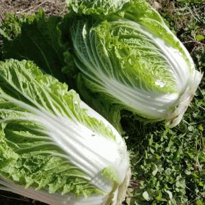 【白菜 仲秋】をお試し収穫してみた話〜 #畑ブログ #野菜先輩