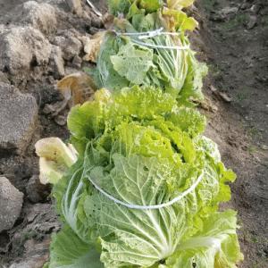 白菜が冬を越せるようにするためにすること。 #畑ブログ #野菜先輩