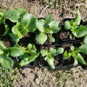 カリフラワーとレタスとサニーレタスを植える話!