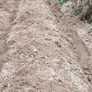 トウモロコシの種を畑にまいた話