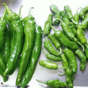 いんげん豆、きゅうり、金時草、甘長唐辛子、ししとうを収穫した話
