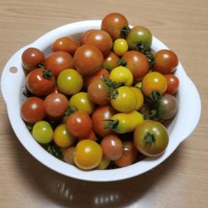 たくさんのトマトやミニトマトを収穫する話!