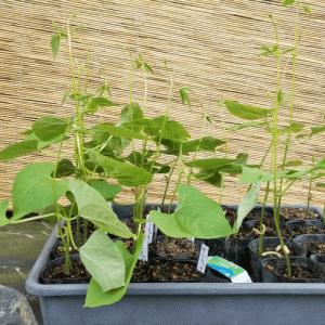きゅうりといんげん豆を畑に植える話!