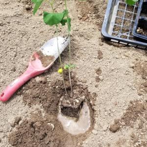 黒豆と青豆の苗を畑に植える話