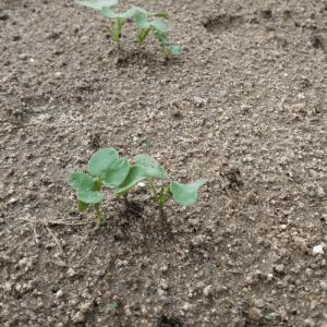 2種類の大根から芽が出てきた話!