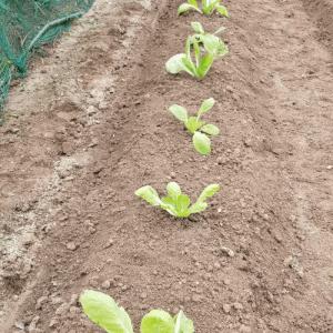 白菜三種類苗を買って植える