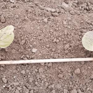 掘り出し物の紫きゃべつの苗を植える話!