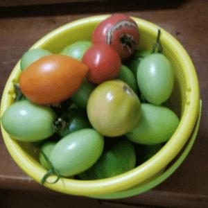 トマトの整理をする話!