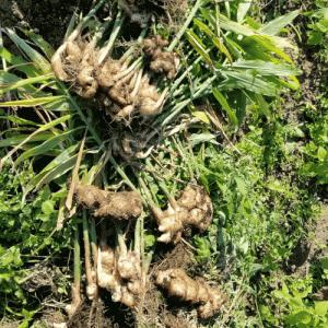 生姜の最後の収穫&グラジオラスの球根掘り上げ