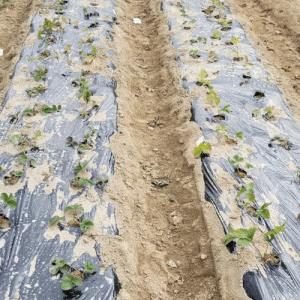 イチゴの苗を畑に植える
