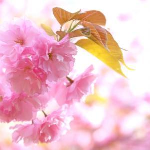桃色(ピンク)の花をつける樹木(庭木)7選【写真付き】