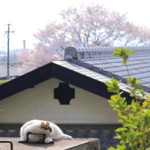 ミケちゃん、ずーーっと桜の下で、おネンネ~